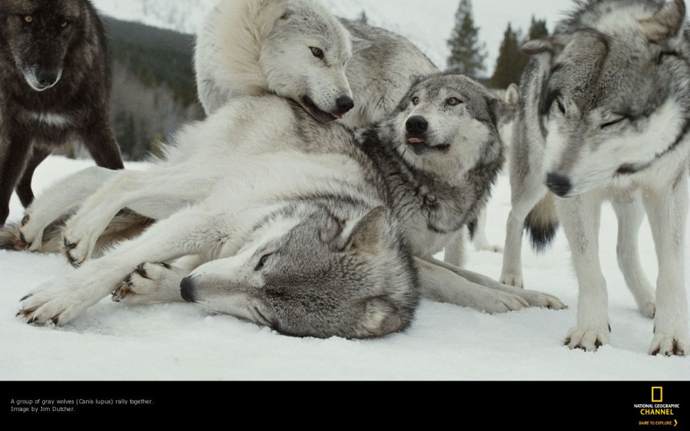A group of gray wolves, Canis lupus, rally together.